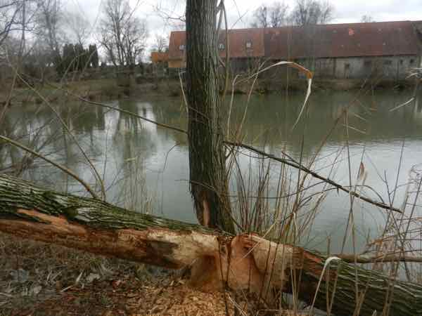 Baumstumpf eines Baumes am Rande des Dorfweihers mit Nagestellen des Bibers